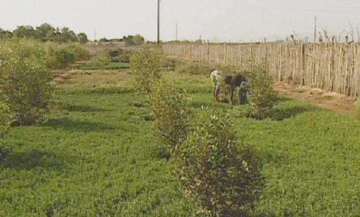 Cultivo de salicornia en crecimiento.