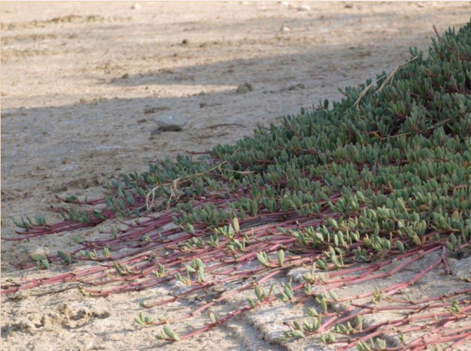 Inicio recuperación suelos con portulacacia.