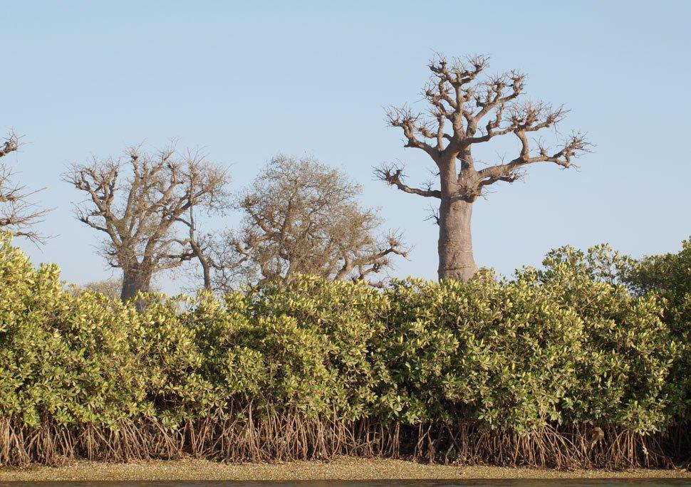 Manglar autóctono costa Senegal