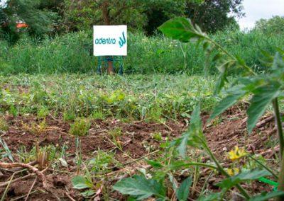 Estudio aplicado en el cultivo de halófitas, así como cultivo tradicional regado con agua de mar